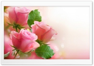 3 Light Pink Roses HD Wide Wallpaper for Widescreen
