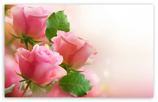 3 Light Pink Roses 4k Hd Desktop Wallpaper For 4k Ultra Hd Tv
