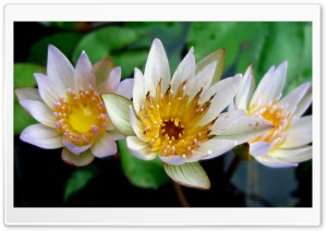 3 Lotus HD Wide Wallpaper for Widescreen