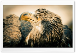 3 Year Old Bald Eagle HD Wide Wallpaper for Widescreen
