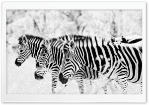 3 Zebra's HD Wide Wallpaper for Widescreen