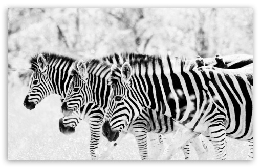 3 Zebra's HD wallpaper for Wide 16:10 5:3 Widescreen WHXGA WQXGA WUXGA WXGA WGA ; HD 16:9 High Definition WQHD QWXGA 1080p 900p 720p QHD nHD ; Standard 4:3 5:4 3:2 Fullscreen UXGA XGA SVGA QSXGA SXGA DVGA HVGA HQVGA devices ( Apple PowerBook G4 iPhone 4 3G 3GS iPod Touch ) ; Tablet 1:1 ; iPad 1/2/Mini ; Mobile 4:3 5:3 3:2 16:9 5:4 - UXGA XGA SVGA WGA DVGA HVGA HQVGA devices ( Apple PowerBook G4 iPhone 4 3G 3GS iPod Touch ) WQHD QWXGA 1080p 900p 720p QHD nHD QSXGA SXGA ;