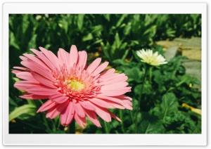 A Beautiful Flower Ultra HD Wallpaper for 4K UHD Widescreen desktop, tablet & smartphone