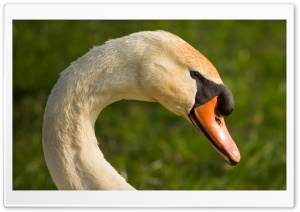 A Beautiful Swans Head HD Wide Wallpaper for Widescreen