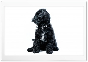 A Black Cockapoo Puppy, Dog, Looking Up HD Wide Wallpaper for 4K UHD Widescreen desktop & smartphone