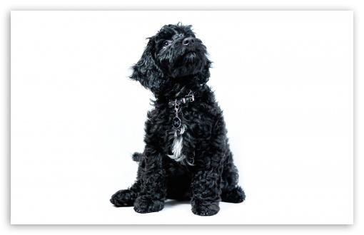 A Black Cockapoo Puppy, Dog, Looking Up ❤ 4K UHD Wallpaper for Wide 16:10 5:3 Widescreen WHXGA WQXGA WUXGA WXGA WGA ; 4K UHD 16:9 Ultra High Definition 2160p 1440p 1080p 900p 720p ; UHD 16:9 2160p 1440p 1080p 900p 720p ; Standard 4:3 5:4 3:2 Fullscreen UXGA XGA SVGA QSXGA SXGA DVGA HVGA HQVGA ( Apple PowerBook G4 iPhone 4 3G 3GS iPod Touch ) ; Smartphone 16:9 3:2 5:3 2160p 1440p 1080p 900p 720p DVGA HVGA HQVGA ( Apple PowerBook G4 iPhone 4 3G 3GS iPod Touch ) WGA ; Tablet 1:1 ; iPad 1/2/Mini ; Mobile 4:3 5:3 3:2 16:9 5:4 - UXGA XGA SVGA WGA DVGA HVGA HQVGA ( Apple PowerBook G4 iPhone 4 3G 3GS iPod Touch ) 2160p 1440p 1080p 900p 720p QSXGA SXGA ;