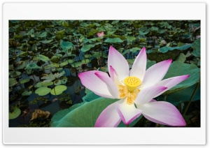 A bright Lotus Ultra HD Wallpaper for 4K UHD Widescreen desktop, tablet & smartphone