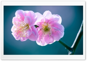 A Bunch Of Blossom Flowers HD Wide Wallpaper for Widescreen