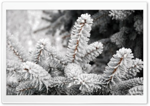 A Close-up Of A Fir Tree Branch Covered With Hoarfrost HD Wide Wallpaper for 4K UHD Widescreen desktop & smartphone