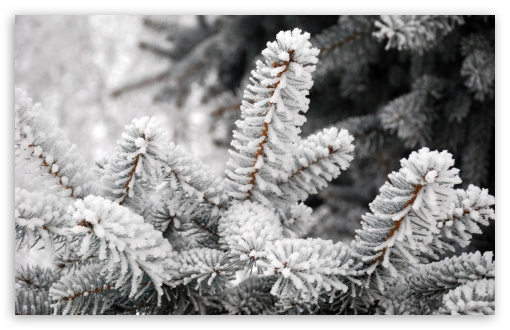 A Close-up Of A Fir Tree Branch Covered With Hoarfrost ❤ 4K UHD Wallpaper for Wide 16:10 5:3 Widescreen WHXGA WQXGA WUXGA WXGA WGA ; Standard 4:3 5:4 3:2 Fullscreen UXGA XGA SVGA QSXGA SXGA DVGA HVGA HQVGA ( Apple PowerBook G4 iPhone 4 3G 3GS iPod Touch ) ; Tablet 1:1 ; iPad 1/2/Mini ; Mobile 4:3 5:3 3:2 16:9 5:4 - UXGA XGA SVGA WGA DVGA HVGA HQVGA ( Apple PowerBook G4 iPhone 4 3G 3GS iPod Touch ) 2160p 1440p 1080p 900p 720p QSXGA SXGA ;