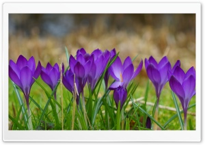 A Clump Of Crocuses HD Wide Wallpaper for Widescreen
