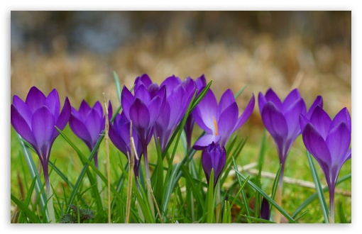 A Clump Of Crocuses ❤ 4K UHD Wallpaper for Wide 16:10 5:3 Widescreen WHXGA WQXGA WUXGA WXGA WGA ; 4K UHD 16:9 Ultra High Definition 2160p 1440p 1080p 900p 720p ; UHD 16:9 2160p 1440p 1080p 900p 720p ; Standard 4:3 5:4 3:2 Fullscreen UXGA XGA SVGA QSXGA SXGA DVGA HVGA HQVGA ( Apple PowerBook G4 iPhone 4 3G 3GS iPod Touch ) ; Smartphone 5:3 WGA ; Tablet 1:1 ; iPad 1/2/Mini ; Mobile 4:3 5:3 3:2 16:9 5:4 - UXGA XGA SVGA WGA DVGA HVGA HQVGA ( Apple PowerBook G4 iPhone 4 3G 3GS iPod Touch ) 2160p 1440p 1080p 900p 720p QSXGA SXGA ; Dual 16:10 5:3 16:9 4:3 5:4 WHXGA WQXGA WUXGA WXGA WGA 2160p 1440p 1080p 900p 720p UXGA XGA SVGA QSXGA SXGA ;