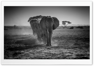 A Herd of African Elephants Walking in a line HD Wide Wallpaper for Widescreen