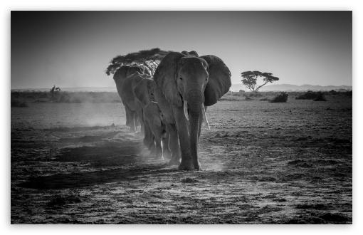 A Herd of African Elephants Walking in a line ❤ 4K UHD Wallpaper for Wide 16:10 5:3 Widescreen WHXGA WQXGA WUXGA WXGA WGA ; UltraWide 21:9 24:10 ; 4K UHD 16:9 Ultra High Definition 2160p 1440p 1080p 900p 720p ; UHD 16:9 2160p 1440p 1080p 900p 720p ; Standard 4:3 5:4 3:2 Fullscreen UXGA XGA SVGA QSXGA SXGA DVGA HVGA HQVGA ( Apple PowerBook G4 iPhone 4 3G 3GS iPod Touch ) ; Smartphone 16:9 3:2 5:3 2160p 1440p 1080p 900p 720p DVGA HVGA HQVGA ( Apple PowerBook G4 iPhone 4 3G 3GS iPod Touch ) WGA ; Tablet 1:1 ; iPad 1/2/Mini ; Mobile 4:3 5:3 3:2 16:9 5:4 - UXGA XGA SVGA WGA DVGA HVGA HQVGA ( Apple PowerBook G4 iPhone 4 3G 3GS iPod Touch ) 2160p 1440p 1080p 900p 720p QSXGA SXGA ; Dual 4:3 5:4 UXGA XGA SVGA QSXGA SXGA ;