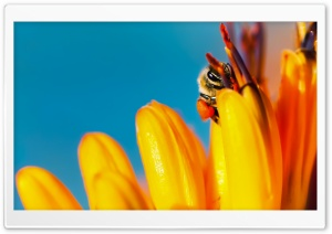 A HoneyBee loaded with Pollen in its Pollen Baskets HD Wide Wallpaper for Widescreen