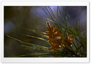 A Little Sun On Starting Pine Cones HD Wide Wallpaper for Widescreen