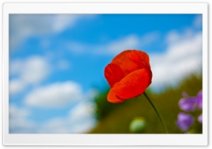 A Lone Red Poppy HD Wide Wallpaper for Widescreen