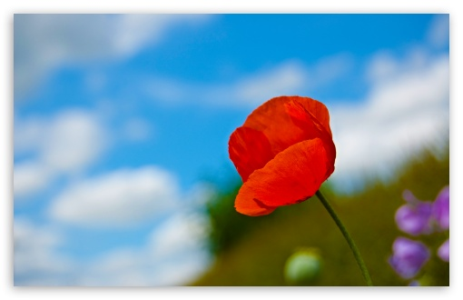 A Lone Red Poppy HD wallpaper for Wide 16:10 5:3 Widescreen WHXGA WQXGA WUXGA WXGA WGA ; HD 16:9 High Definition WQHD QWXGA 1080p 900p 720p QHD nHD ; Standard 4:3 5:4 3:2 Fullscreen UXGA XGA SVGA QSXGA SXGA DVGA HVGA HQVGA devices ( Apple PowerBook G4 iPhone 4 3G 3GS iPod Touch ) ; Tablet 1:1 ; iPad 1/2/Mini ; Mobile 4:3 5:3 3:2 16:9 5:4 - UXGA XGA SVGA WGA DVGA HVGA HQVGA devices ( Apple PowerBook G4 iPhone 4 3G 3GS iPod Touch ) WQHD QWXGA 1080p 900p 720p QHD nHD QSXGA SXGA ; Dual 16:10 5:3 4:3 5:4 WHXGA WQXGA WUXGA WXGA WGA UXGA XGA SVGA QSXGA SXGA ;