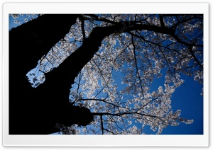 A Look Up At The Cherry Blossoms HD Wide Wallpaper for 4K UHD Widescreen desktop & smartphone