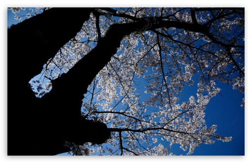 A Look Up At The Cherry Blossoms HD wallpaper for Wide 16:10 5:3 Widescreen WHXGA WQXGA WUXGA WXGA WGA ; HD 16:9 High Definition WQHD QWXGA 1080p 900p 720p QHD nHD ; UHD 16:9 WQHD QWXGA 1080p 900p 720p QHD nHD ; Standard 4:3 5:4 3:2 Fullscreen UXGA XGA SVGA QSXGA SXGA DVGA HVGA HQVGA devices ( Apple PowerBook G4 iPhone 4 3G 3GS iPod Touch ) ; Tablet 1:1 ; iPad 1/2/Mini ; Mobile 4:3 5:3 3:2 16:9 5:4 - UXGA XGA SVGA WGA DVGA HVGA HQVGA devices ( Apple PowerBook G4 iPhone 4 3G 3GS iPod Touch ) WQHD QWXGA 1080p 900p 720p QHD nHD QSXGA SXGA ; Dual 16:10 5:3 16:9 4:3 5:4 WHXGA WQXGA WUXGA WXGA WGA WQHD QWXGA 1080p 900p 720p QHD nHD UXGA XGA SVGA QSXGA SXGA ;