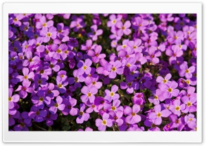 A Lot Of Purple Flowers HD Wide Wallpaper for Widescreen
