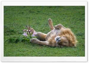 A Male Lion Sleeping on its Back HD Wide Wallpaper for Widescreen