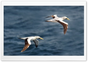 A Pair Of Blue Footed Boobies HD Wide Wallpaper for Widescreen