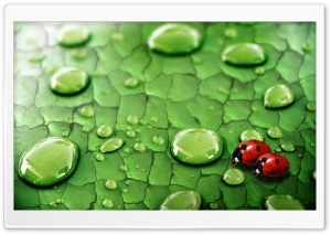 A Pair of Ladybird HD Wide Wallpaper for Widescreen