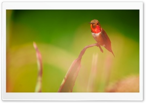 A Perched Male Rufous Hummingbird HD Wide Wallpaper for Widescreen