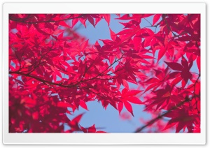 A Pink Autumn HD Wide Wallpaper for Widescreen