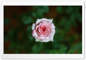 A Pink Rose HD Wide Wallpaper for Widescreen