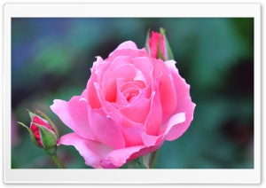 A Pink Rose And Two Buds HD Wide Wallpaper for Widescreen