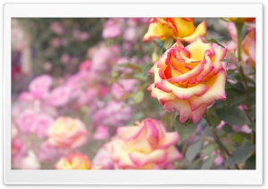 A Rose HD Wide Wallpaper for Widescreen