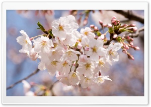 A Sakura Ultra HD Wallpaper for 4K UHD Widescreen desktop, tablet & smartphone