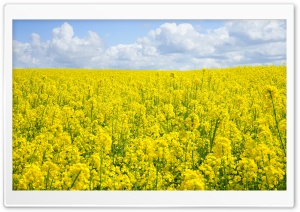 A Sea of Yellow Rapeseed Flowers Ultra HD Wallpaper for 4K UHD Widescreen desktop, tablet & smartphone