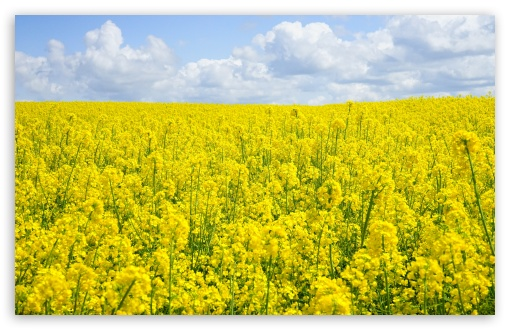 A Sea of Yellow Rapeseed Flowers ❤ 4K UHD Wallpaper for Wide 16:10 5:3 Widescreen WHXGA WQXGA WUXGA WXGA WGA ; 4K UHD 16:9 Ultra High Definition 2160p 1440p 1080p 900p 720p ; UHD 16:9 2160p 1440p 1080p 900p 720p ; Standard 4:3 5:4 3:2 Fullscreen UXGA XGA SVGA QSXGA SXGA DVGA HVGA HQVGA ( Apple PowerBook G4 iPhone 4 3G 3GS iPod Touch ) ; Smartphone 5:3 WGA ; Tablet 1:1 ; iPad 1/2/Mini ; Mobile 4:3 5:3 3:2 16:9 5:4 - UXGA XGA SVGA WGA DVGA HVGA HQVGA ( Apple PowerBook G4 iPhone 4 3G 3GS iPod Touch ) 2160p 1440p 1080p 900p 720p QSXGA SXGA ; Dual 16:10 5:3 16:9 4:3 5:4 WHXGA WQXGA WUXGA WXGA WGA 2160p 1440p 1080p 900p 720p UXGA XGA SVGA QSXGA SXGA ;