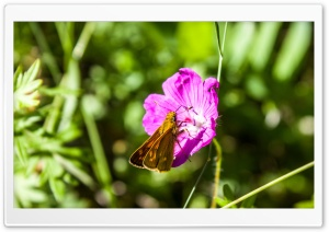 A Small Brown Butterfly on a Purple Flower HD Wide Wallpaper for Widescreen
