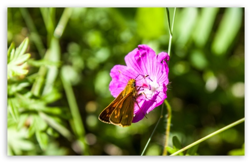 A Small Brown Butterfly on a Purple Flower ❤ 4K UHD Wallpaper for Wide 16:10 5:3 Widescreen WHXGA WQXGA WUXGA WXGA WGA ; UltraWide 21:9 24:10 ; 4K UHD 16:9 Ultra High Definition 2160p 1440p 1080p 900p 720p ; UHD 16:9 2160p 1440p 1080p 900p 720p ; Standard 4:3 5:4 3:2 Fullscreen UXGA XGA SVGA QSXGA SXGA DVGA HVGA HQVGA ( Apple PowerBook G4 iPhone 4 3G 3GS iPod Touch ) ; Smartphone 16:9 3:2 5:3 2160p 1440p 1080p 900p 720p DVGA HVGA HQVGA ( Apple PowerBook G4 iPhone 4 3G 3GS iPod Touch ) WGA ; Tablet 1:1 ; iPad 1/2/Mini ; Mobile 4:3 5:3 3:2 16:9 5:4 - UXGA XGA SVGA WGA DVGA HVGA HQVGA ( Apple PowerBook G4 iPhone 4 3G 3GS iPod Touch ) 2160p 1440p 1080p 900p 720p QSXGA SXGA ; Dual 4:3 5:4 UXGA XGA SVGA QSXGA SXGA ;