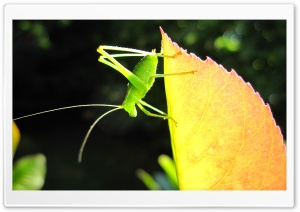 A Small Green Grasshopper HD Wide Wallpaper for 4K UHD Widescreen desktop & smartphone