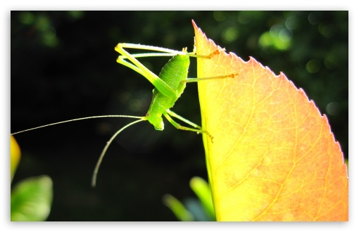 A Small Green Grasshopper HD wallpaper for Wide 16:10 5:3 Widescreen WHXGA WQXGA WUXGA WXGA WGA ; HD 16:9 High Definition WQHD QWXGA 1080p 900p 720p QHD nHD ; UHD 16:9 WQHD QWXGA 1080p 900p 720p QHD nHD ; Standard 3:2 Fullscreen DVGA HVGA HQVGA devices ( Apple PowerBook G4 iPhone 4 3G 3GS iPod Touch ) ; Mobile 5:3 3:2 16:9 - WGA DVGA HVGA HQVGA devices ( Apple PowerBook G4 iPhone 4 3G 3GS iPod Touch ) WQHD QWXGA 1080p 900p 720p QHD nHD ; Dual 5:4 QSXGA SXGA ;