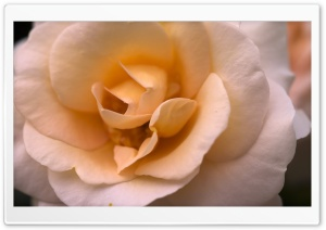 A Smooth Rose HD Wide Wallpaper for Widescreen