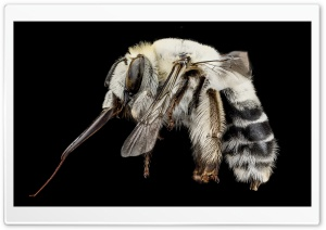 A Solitary White Bee, Anthophora Affabilis HD Wide Wallpaper for 4K UHD Widescreen desktop & smartphone