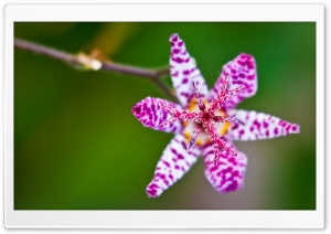 A Toad Lily Flower HD Wide Wallpaper for Widescreen