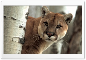 A Watchful Cougar HD Wide Wallpaper for Widescreen