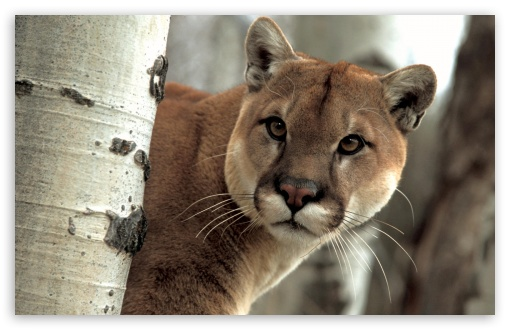 A Watchful Cougar ❤ 4K UHD Wallpaper for Wide 16:10 5:3 Widescreen WHXGA WQXGA WUXGA WXGA WGA ; 4K UHD 16:9 Ultra High Definition 2160p 1440p 1080p 900p 720p ; Standard 4:3 5:4 3:2 Fullscreen UXGA XGA SVGA QSXGA SXGA DVGA HVGA HQVGA ( Apple PowerBook G4 iPhone 4 3G 3GS iPod Touch ) ; iPad 1/2/Mini ; Mobile 4:3 5:3 3:2 16:9 5:4 - UXGA XGA SVGA WGA DVGA HVGA HQVGA ( Apple PowerBook G4 iPhone 4 3G 3GS iPod Touch ) 2160p 1440p 1080p 900p 720p QSXGA SXGA ;
