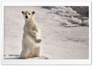A Young Polar Bear HD Wide Wallpaper for Widescreen