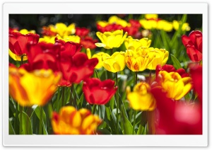 Abloom Colored Tulips HD Wide Wallpaper for Widescreen