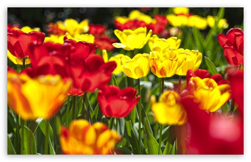 Abloom Colored Tulips HD wallpaper for Standard 4:3 5:4 Fullscreen UXGA XGA SVGA QSXGA SXGA ; Wide 16:10 5:3 Widescreen WHXGA WQXGA WUXGA WXGA WGA ; HD 16:9 High Definition WQHD QWXGA 1080p 900p 720p QHD nHD ; Other 3:2 DVGA HVGA HQVGA devices ( Apple PowerBook G4 iPhone 4 3G 3GS iPod Touch ) ; Mobile VGA WVGA iPhone iPad PSP Phone - VGA QVGA Smartphone ( PocketPC GPS iPod Zune BlackBerry HTC Samsung LG Nokia Eten Asus ) WVGA WQVGA Smartphone ( HTC Samsung Sony Ericsson LG Vertu MIO ) HVGA Smartphone ( Apple iPhone iPod BlackBerry HTC Samsung Nokia ) Sony PSP Zune HD Zen ; Tablet 2 Android 3 DVGA HVGA HQVGA devices ( Apple PowerBook G4 iPhone 4 3G 3GS iPod Touch ) ;