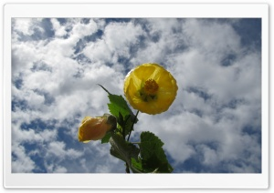 Abutilon HD Wide Wallpaper for 4K UHD Widescreen desktop & smartphone