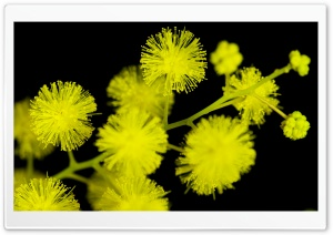 Acacia Baileyana Flowers HD Wide Wallpaper for Widescreen